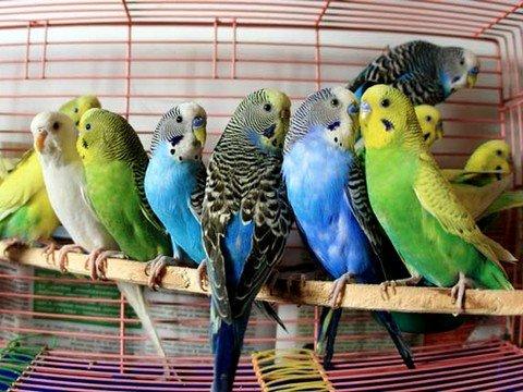 Чим можна заразитися від домашніх птахів? - Сайт медичної допомоги